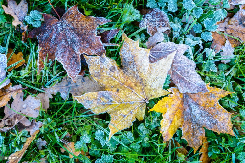 Close-up view of maple dead leaves lying on the grass, covered with frost, among other varieties of dry leaves stock photo