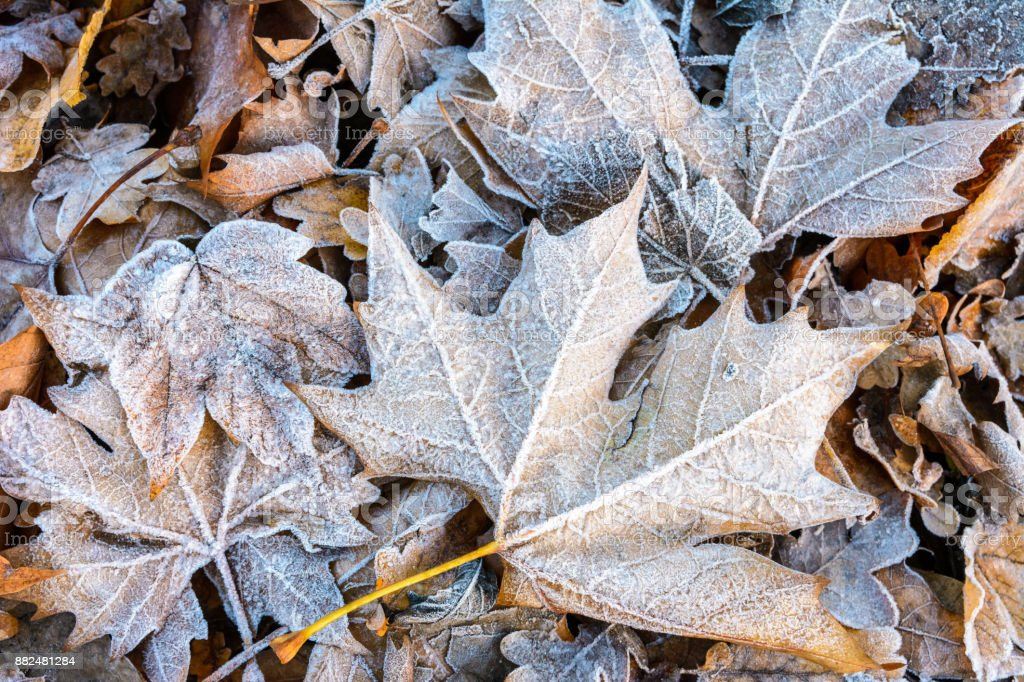 Close-up view of plane tree dead leaves covered with frost lying on the ground among other varieties of dry leaves stock photo