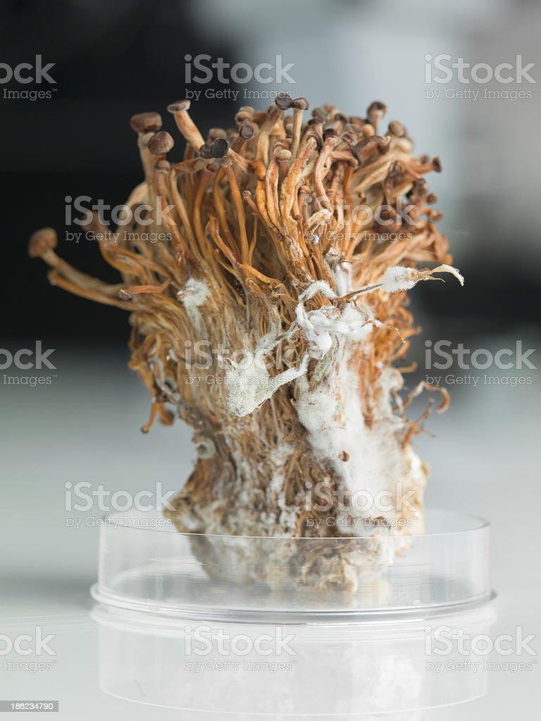 frozen enoki mushrooms sheaf in petri dish royalty-free stock photo