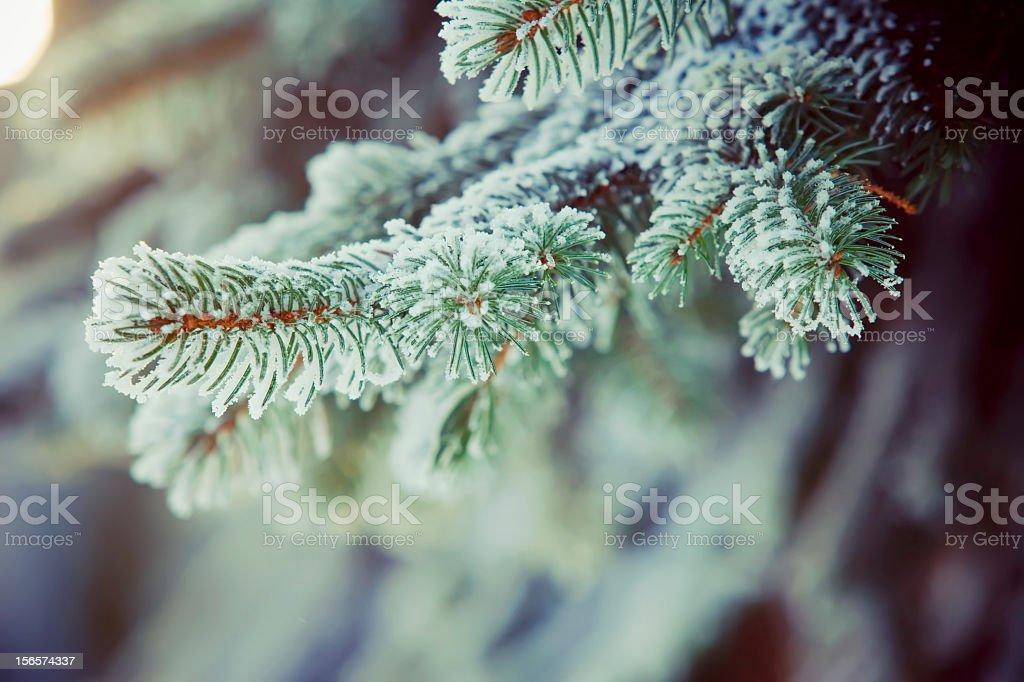 Frozen fir branches stock photo