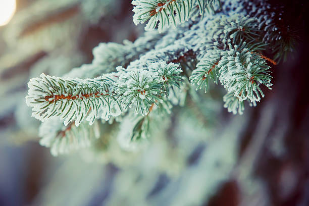 frozen fir branches - fir tree stock photos and pictures
