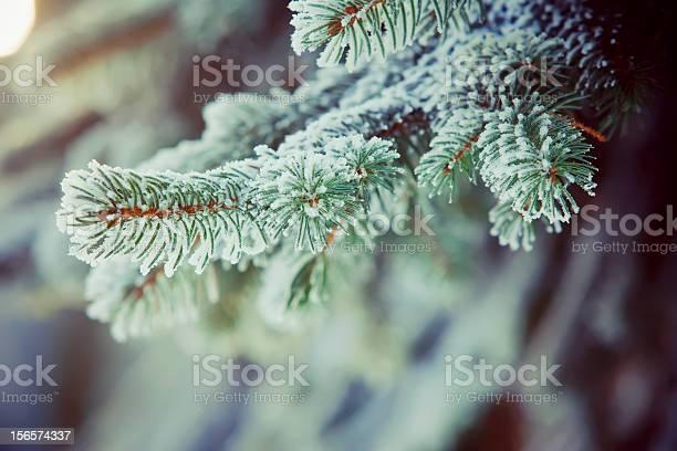 Photo of Frozen fir branches