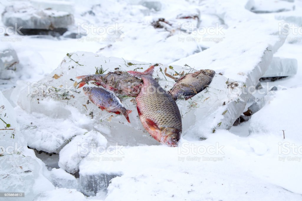 Frozen fish on the ice stock photo