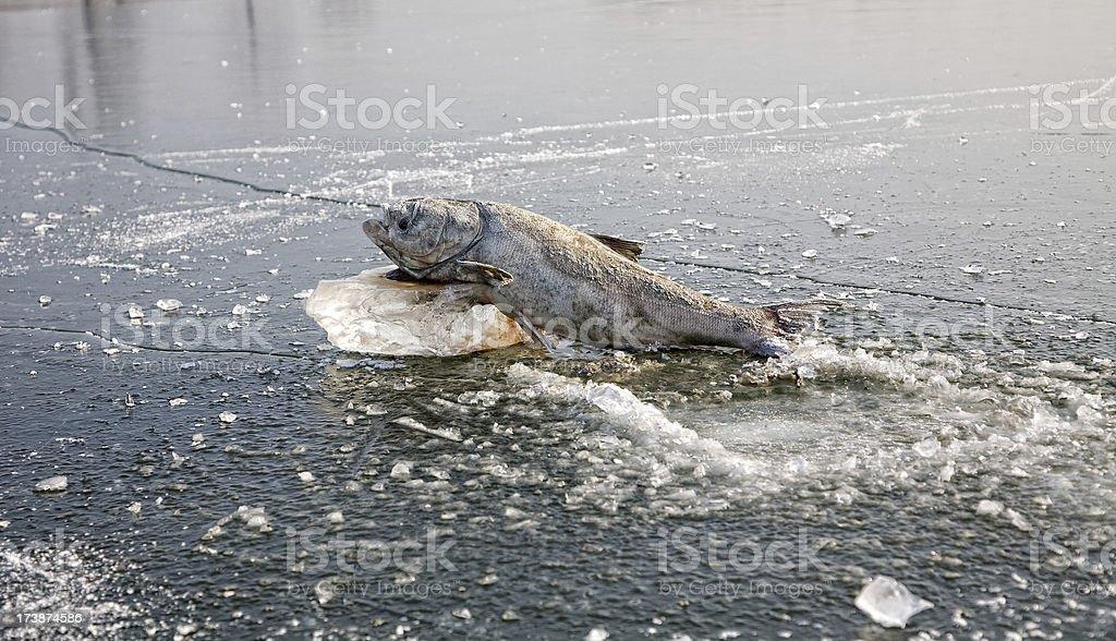 Frozen Fish royalty-free stock photo