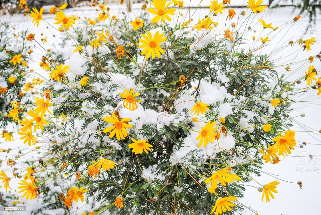 Frozen flower in the snow in the Dolmabahce palace stock photo