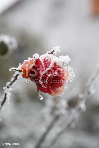 Frozen beautiful Rose