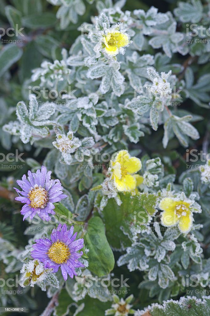 Frozen Flowers royalty-free stock photo