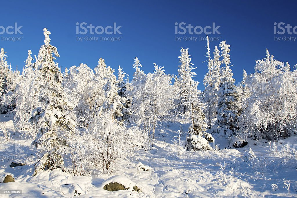 Frozen forest alighted by sunset royalty free stockfoto