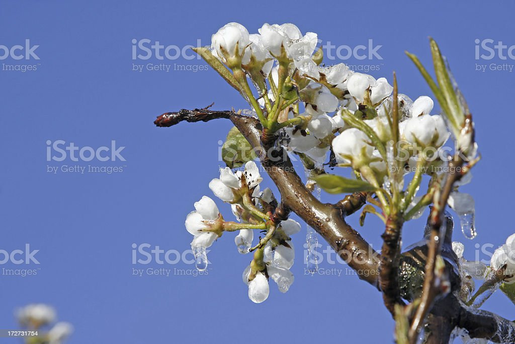 Frozen fruit blossom orchard # 16 royalty-free stock photo