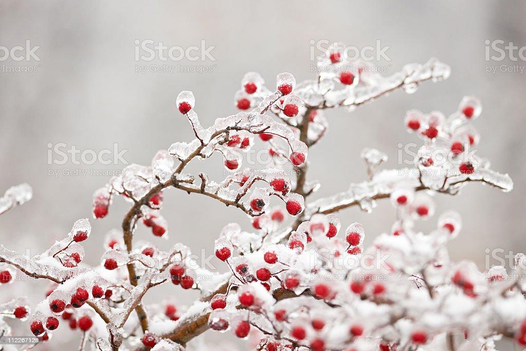 Frozen hawthorn branch royalty-free stock photo