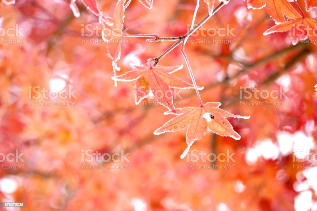 Frozen Japanese Maple Leaf stock photo