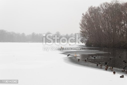frozen lake covered in snow with ducks and swans sitting in the cold water