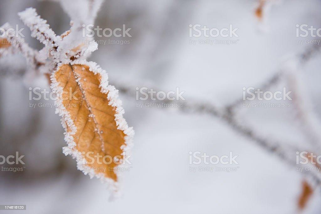 Frozen leaf stock photo