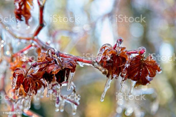 Photo of Frozen leaves and branches after ice storm, close up