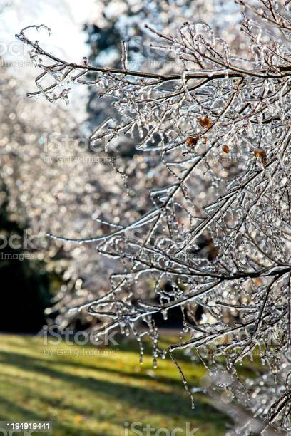 Photo of Frozen leaves and tree branches encrusted after ice storm