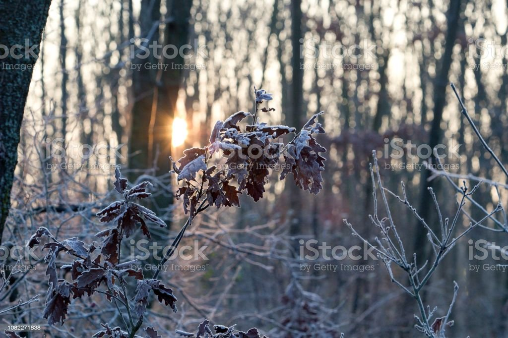 frozen leaves at sunrise stock photo
