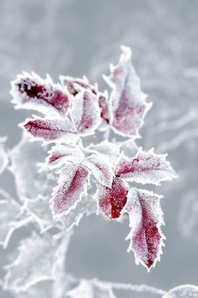 frozen leaves, leaf with ice lace - christmas border stockfoto's en -beelden