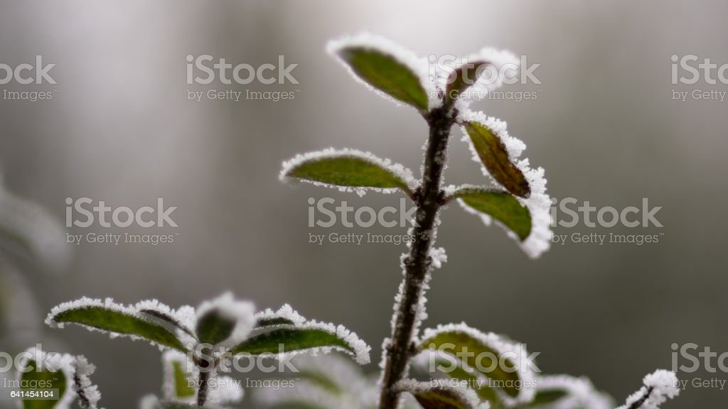Frozen leaves o the top of the tree branch stock photo