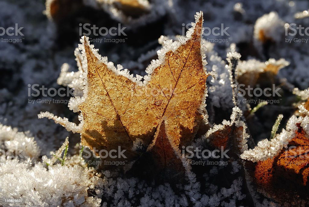 Frozen leaves royalty-free stock photo