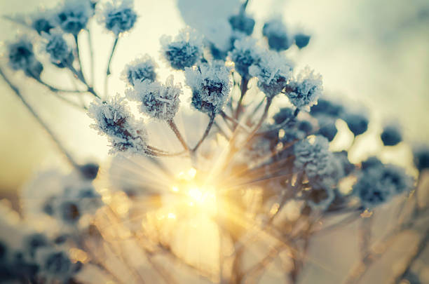 frozen meadow plant - vintage flowers stock photos and pictures