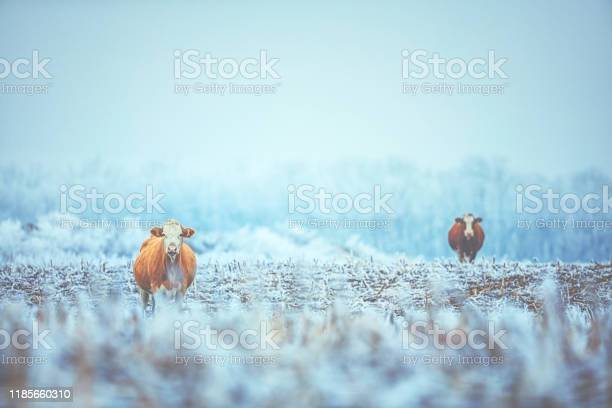 Photo of Frozen meadow with brown cow in winter