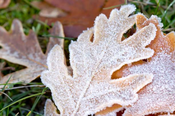 Congelados la hoja del árbol de roble. - foto de stock