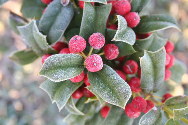 frozen on holly tree. - frozen berries stock photos and pictures