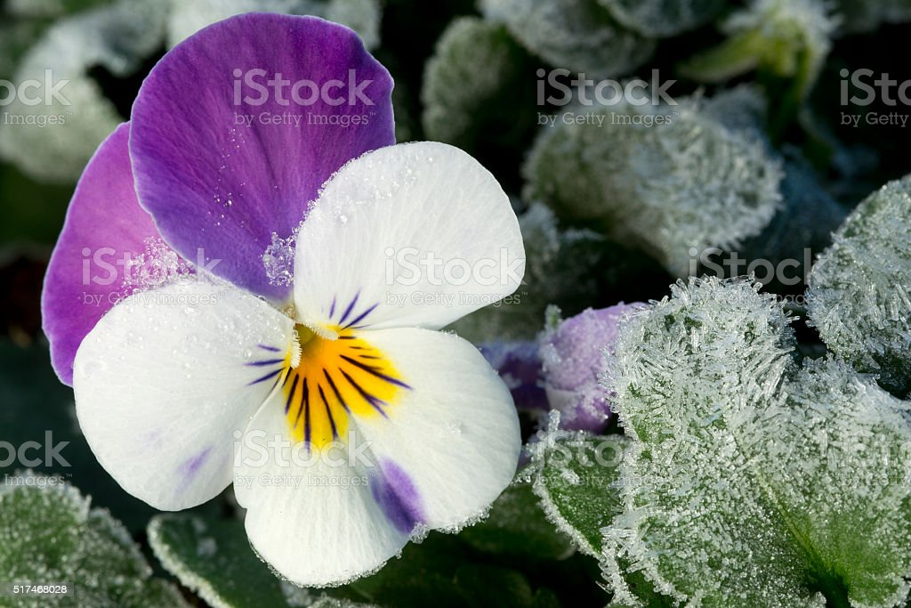 frozen pansy stock photo