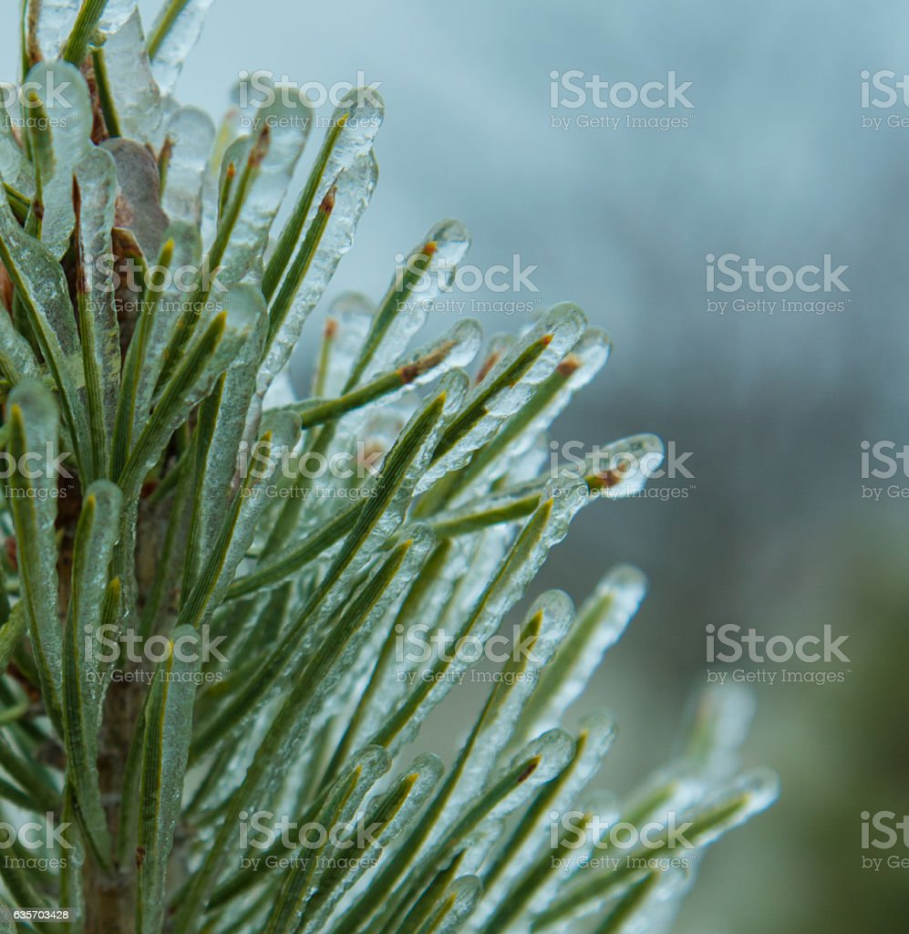 Frozen Pine Needles royalty-free stock photo
