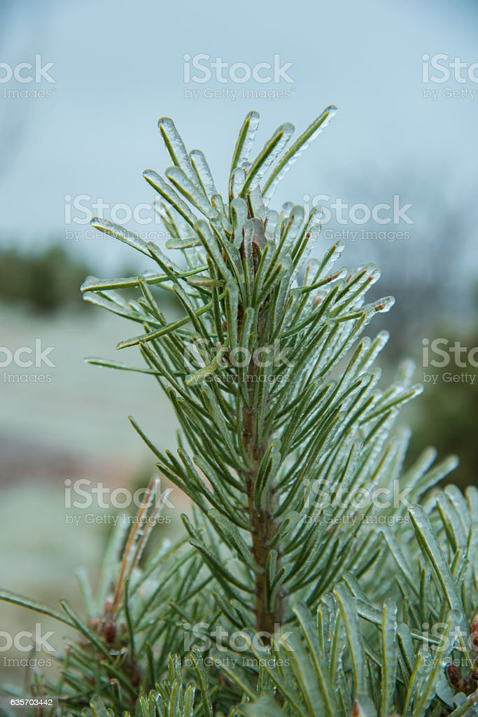 Frozen Pine royalty-free stock photo
