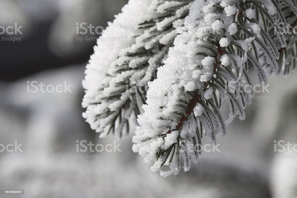 Frozen pine tree close up stock photo
