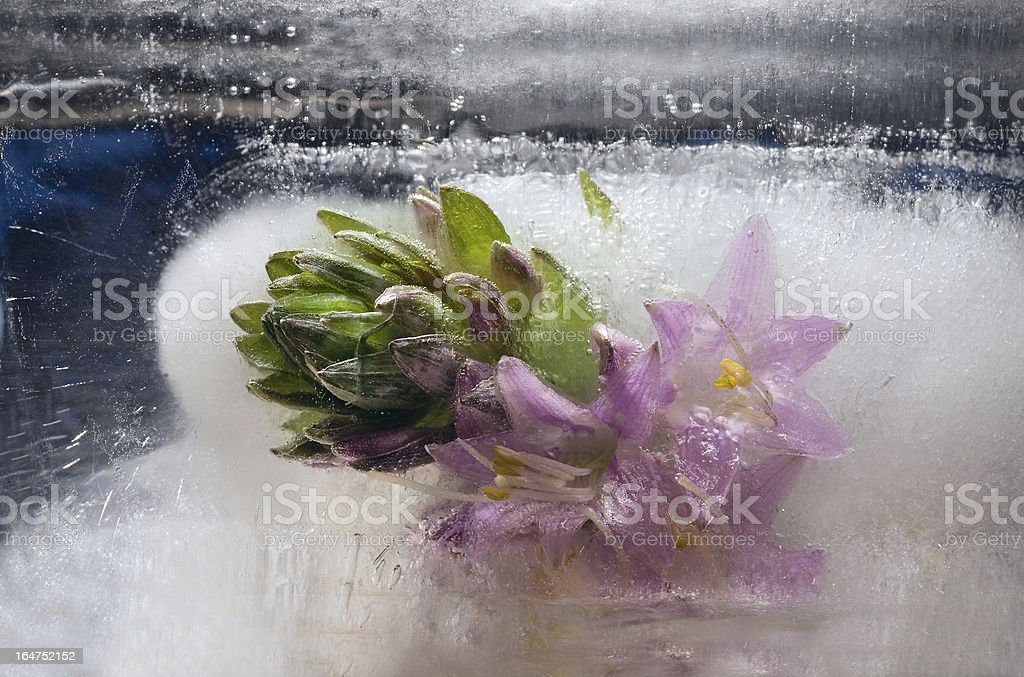 Frozen   pink   plantain lily flower royalty-free stock photo