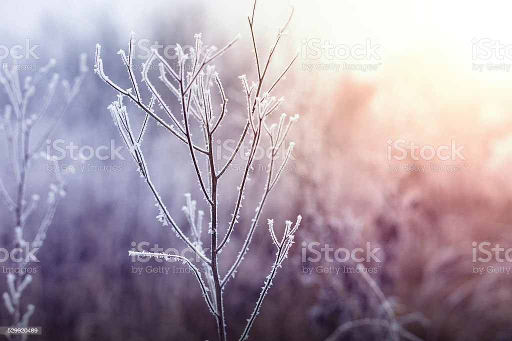 Frozen plant in winter morning. stock photo
