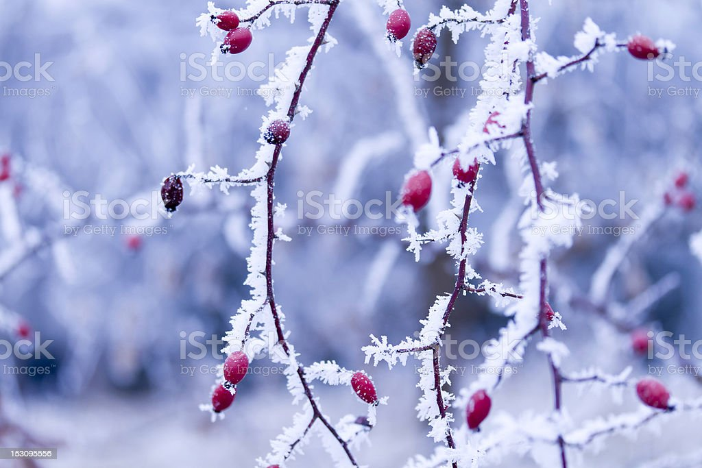frozen plant royalty-free stock photo