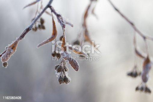 frozen plants in winter. toned image