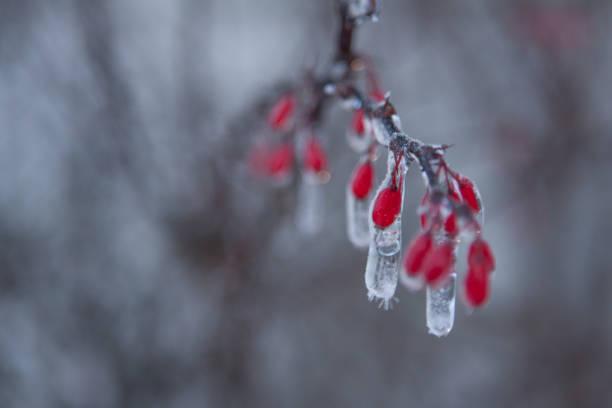frozen red berries stock photo