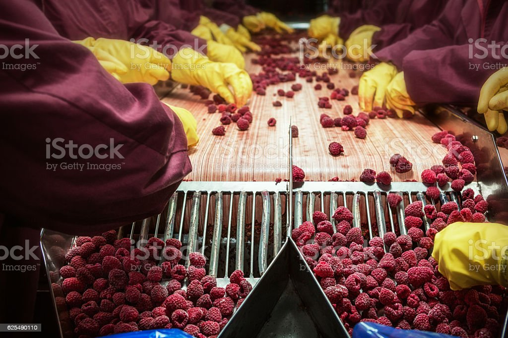 Frozen red raspberries in sorting and processing machines stock photo