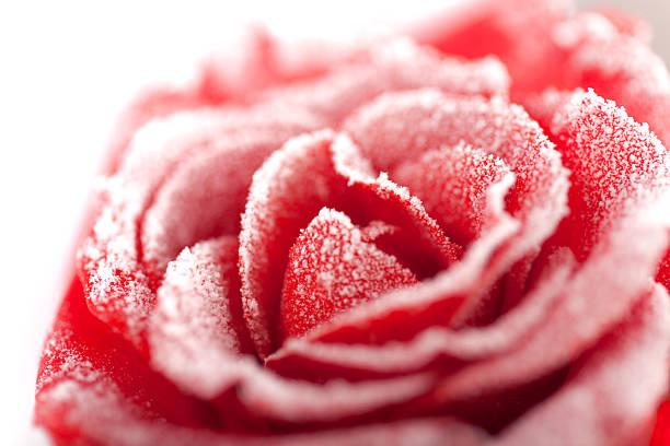 Frozen red rose in white frost picture id104261688?b=1&k=6&m=104261688&s=612x612&w=0&h=xflsj9w2jrdctpeipmudzl zhovijkiz8uazjtmvpxi=