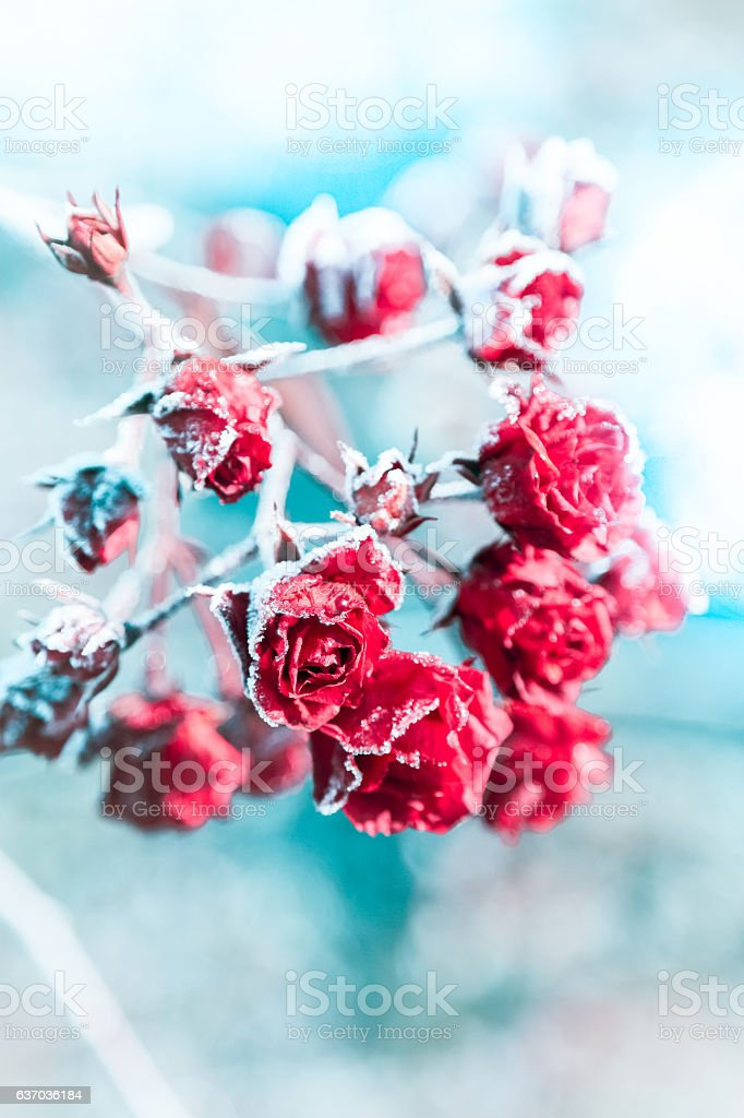 Frozen red roses on blue background stock photo