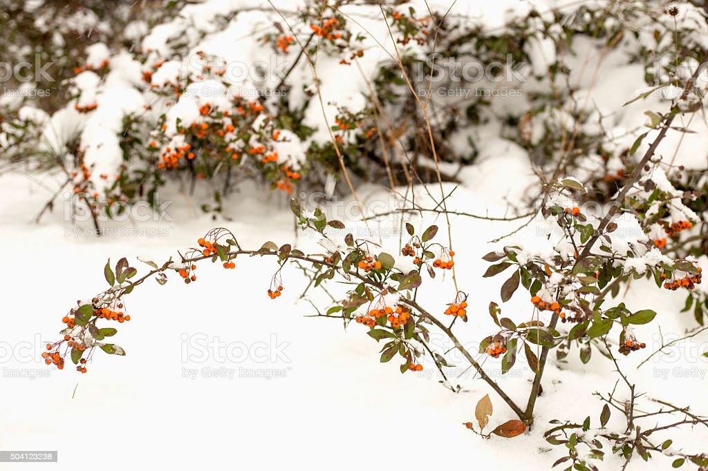 Frozen Red wild dog rose stock photo