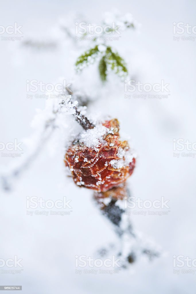 Frozen rose bush royalty-free stock photo