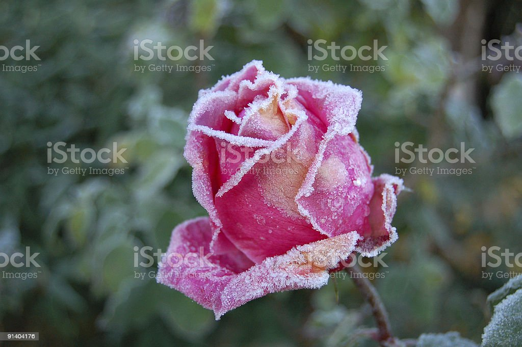 frozen rose in end of autumn royalty-free stock photo