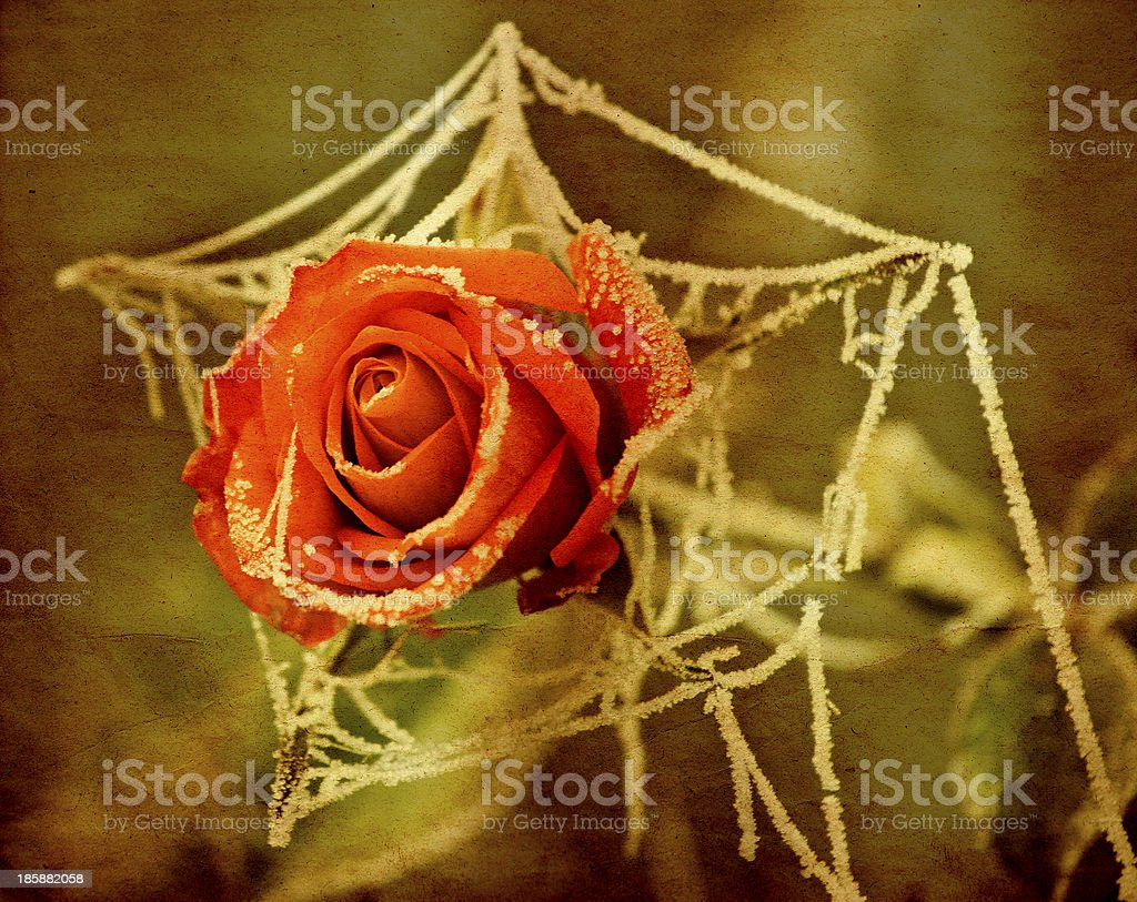 Frozen rose on vintage background royalty-free stock photo