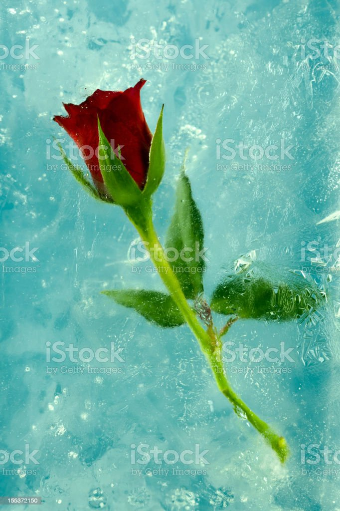 Frozen Rose. royalty-free stock photo