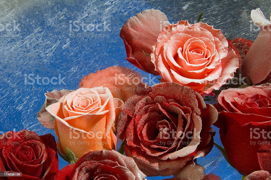 Frozen roses covered under ice and rime royalty-free stock photo
