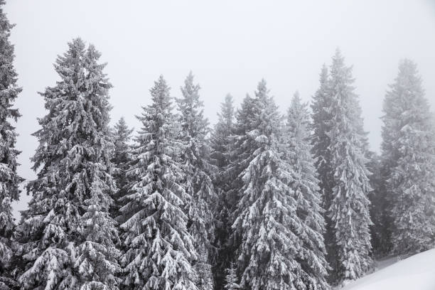 Frozen snow-covered fir forest after snowfall - foto stock