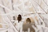 frozen sparrows