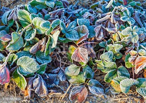 frozen strawberry plants in winter with hoar frost