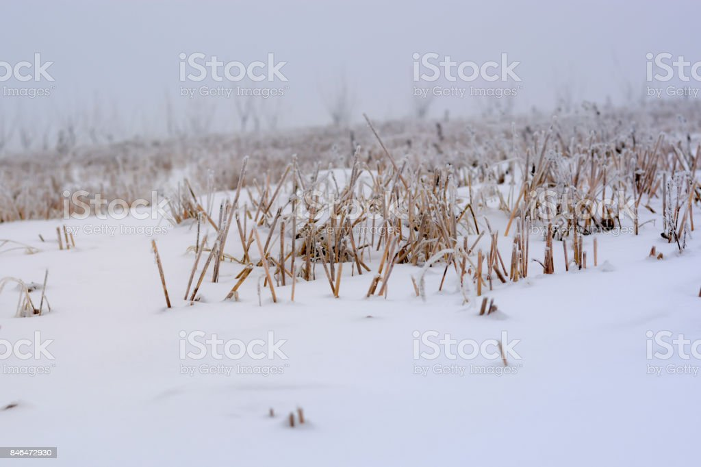 Frozen stubble under the snow stock photo