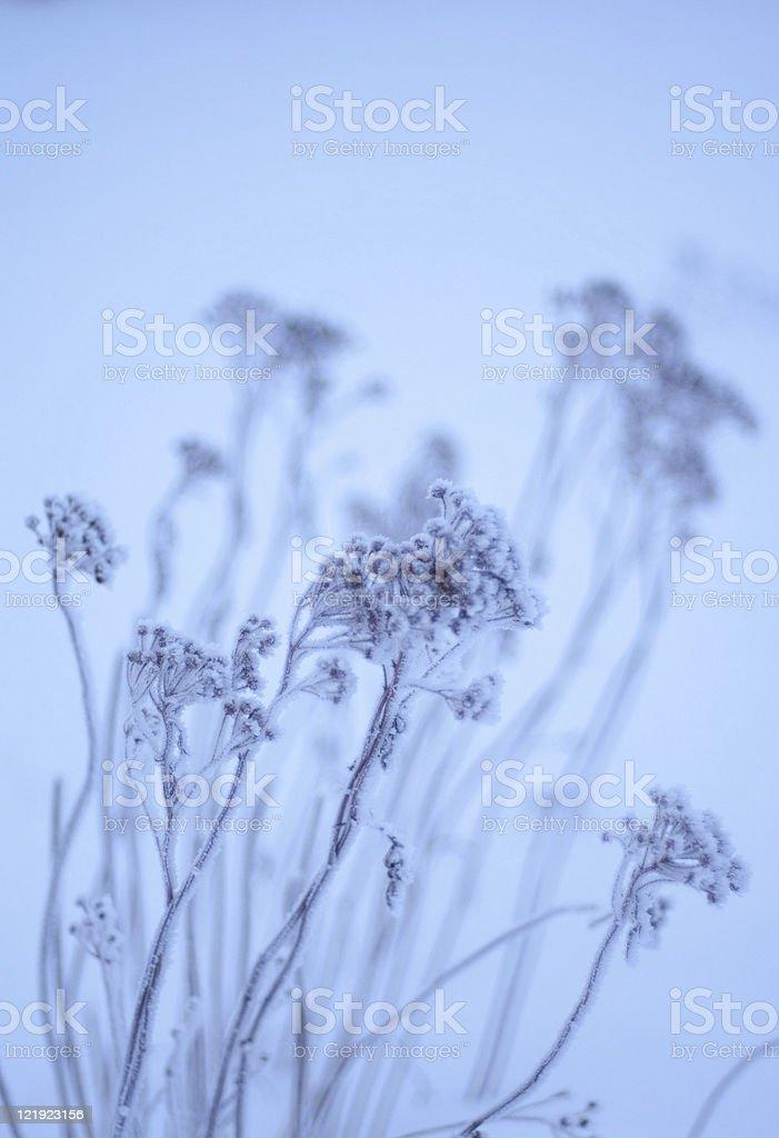 Frozen tansy stock photo